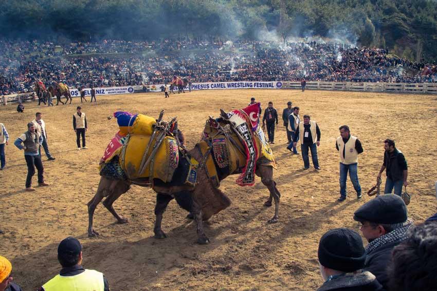 شتر سواری در کوش آداسی
