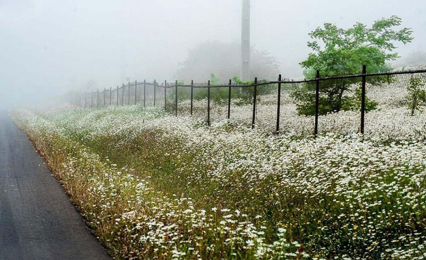 دشت گلهای بابونه