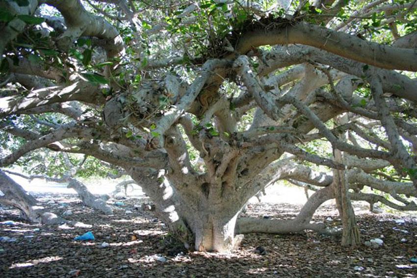 مکان های دیدنی چابهار - درخت مکر زن چابهار
