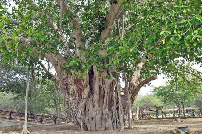 دیدنی های کیش درخت سبز